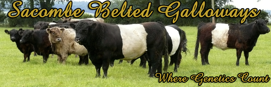 Sacombe Belted Galloways - Where Genetics Count